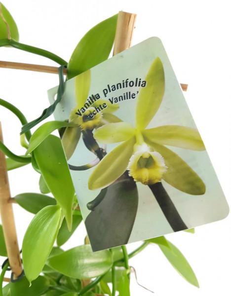 Vanilla planifolia - echte Vanilla Orchidee