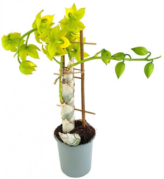 Cycnodes 'Jumbo Puff' - gelbe Duftorchidee