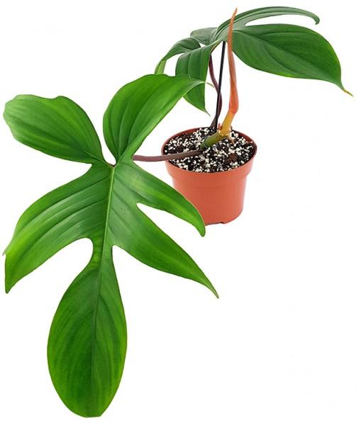 Philodendron 'Florida' - Baumfreund