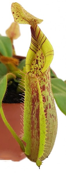 Nepenthes Hurreliana x Veitchii