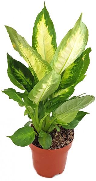 "Dieffenbachia maculata ""Camilla"" - Blattschmuckpflanze"