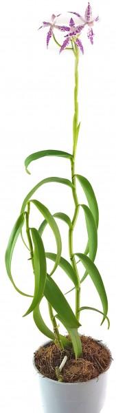 Barkeria spectabilis X Epidendrum criniferumim - Orchidee