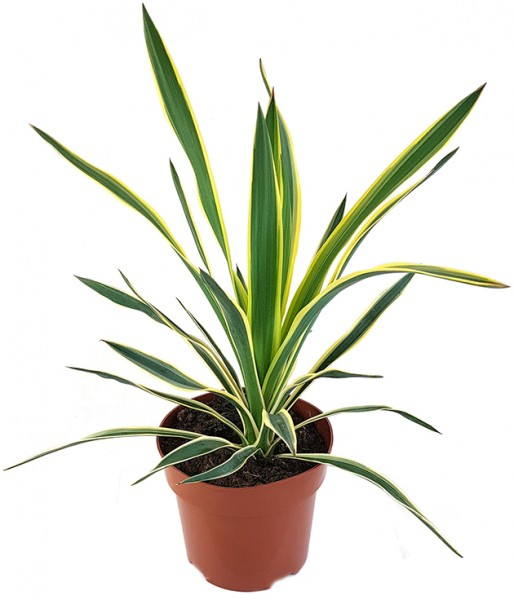 Yucca gloriosa 'variegata' - Kerzenpalmlilie