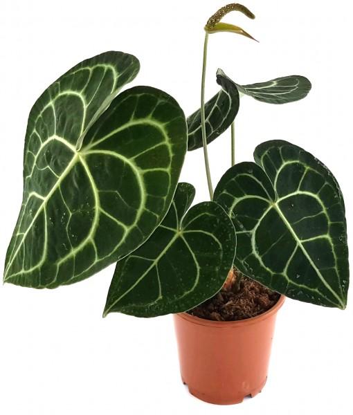 Anthurium clarinervium - Herzblattblume
