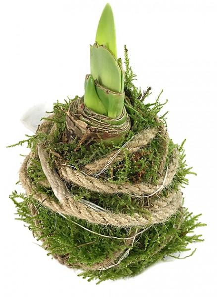gewachste Amaryllis - Ritterstern mit Moos und LED