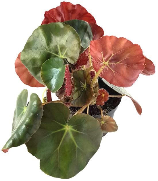 Begonia Erythrophylla Beefsteak - Begonie | Fangblatt ...