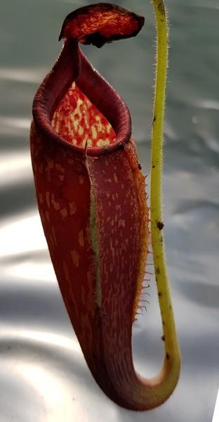 Nepenthes talangensis x glandulifera Hybride Kreuzung borneo exotics hochlandpflanze Kannenpflanze fleischfressende pflanze zum hängen ampelpflanze fensterbank sonnig hell nephentes kaufen bestellen online robust zimmerpflanze selten karnivore