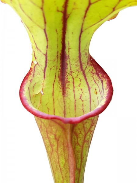 Sarracenia 'Burning Candles' Fangblatt Exklusive Hybride