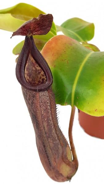Nepenthes glandulifera x robcantleyi BE-3964