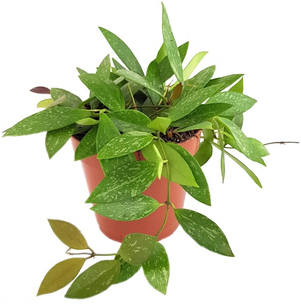 Hoya gracilis - marmorierte Porzellanblume