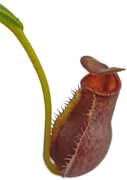 Nepenthes (Mira x Aristolochioides) X (Mira x Lowii)
