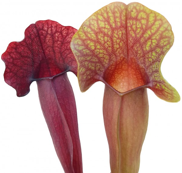 Sarracenia X Swaniana (Purpurea X Minor)