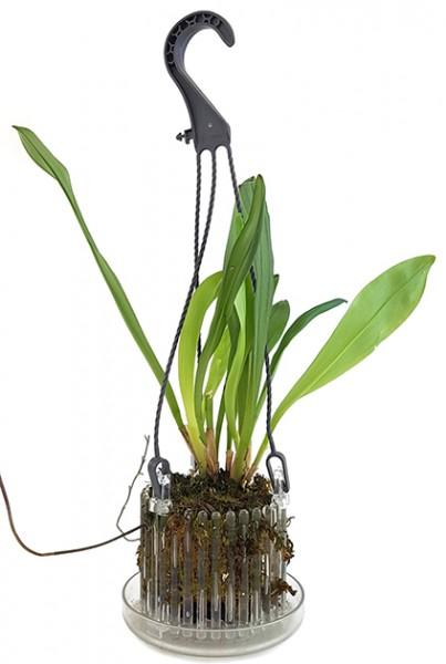 Dracula 'Chimaera' - gespenstische Orchidee