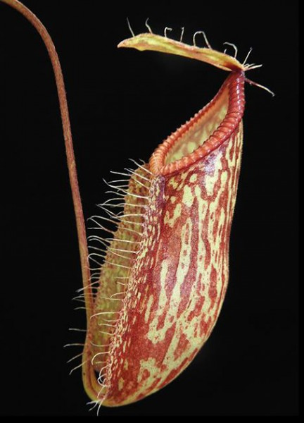 Nepenthes glabrata x hamata BE-4005