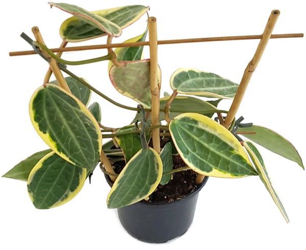"""Hoya macrophylla """"Variegata"""" - Wachsblume"""