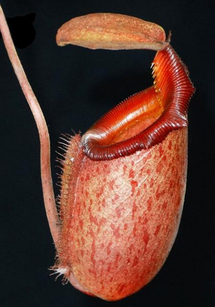 Nepenthes rajah x mira BE-3518