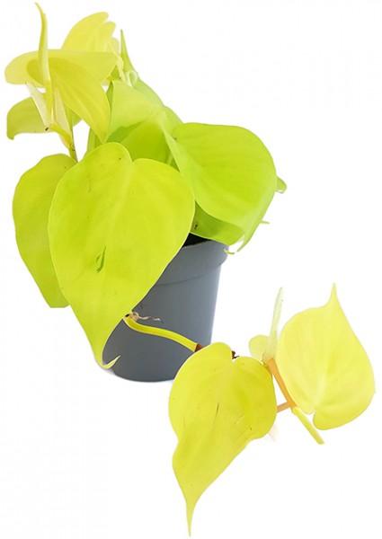 Philodendron micans 'Lime' - spritziger Baumfreund