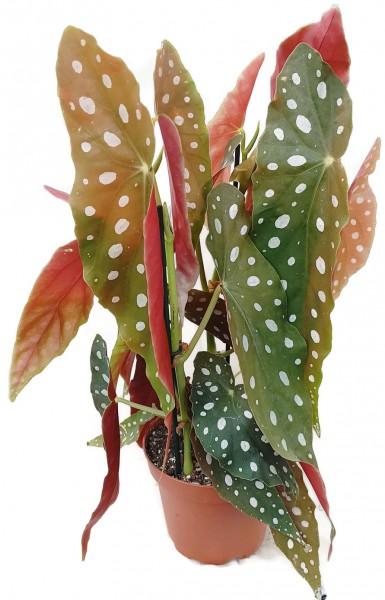 begonie maculata wightii forellenbegonie blattschmuckpflanze begonia strauchbegonie