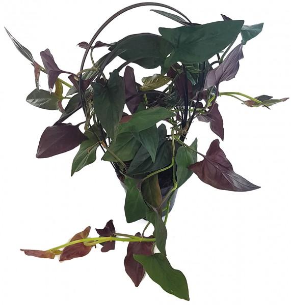 Syngonium Erythrophyllum 'Red Arrow' - Purpurtute am Rundbogen