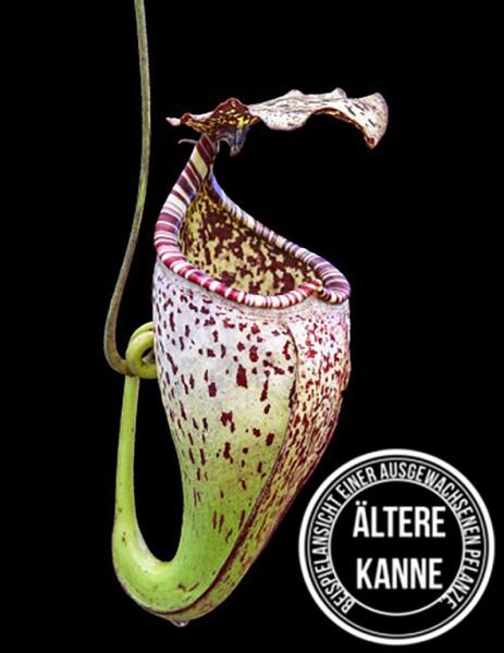 Nepenthes burbidgeae BE-3873