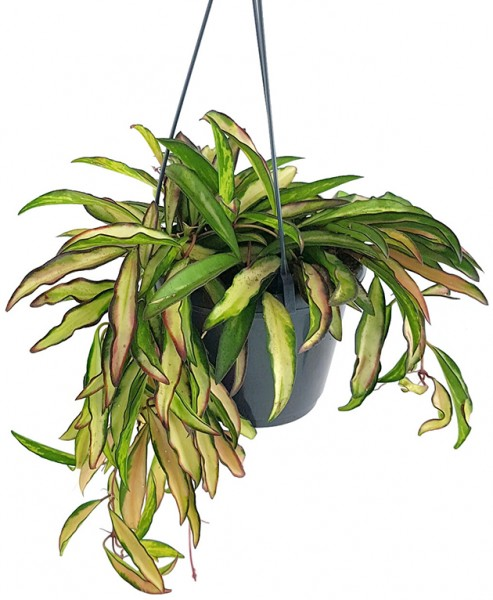 Hoya wayetii variegata - Porzellanblume