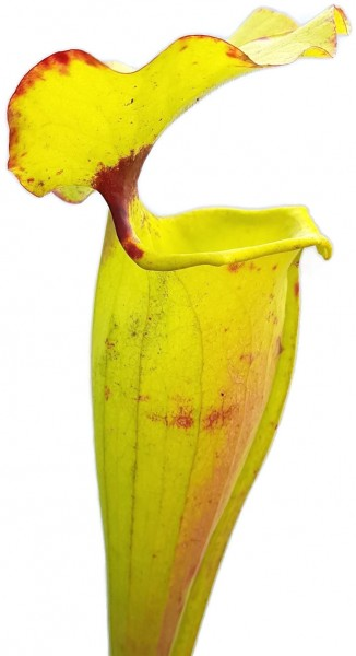 Sarracenia Flava var. Rugelii 'Big Mouth'