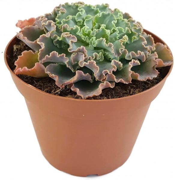 Echeveria Hybride
