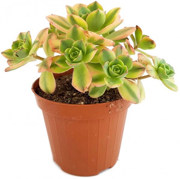 Aeonium, kanarische Rose, sukkulente, dickblatt, rossetten dickblatt, pflegeleicht büropflanze, zimmerpflanze, kiwi , crassula, zimmerpflanze, blickgfang, dekoration, wohnung, büro