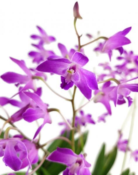 Dendrobium kingianum 'Berry Oda' - Orchidee