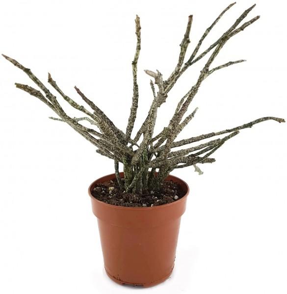 Euphorbia platyclada - Sukkulente