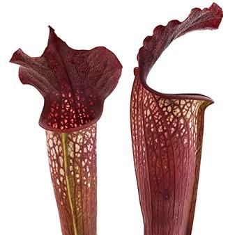 Sarracenia 'Bloody Winter' Fangblatt
