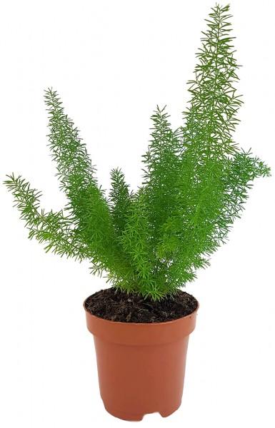 Asparagus densiflorus 'Meyeri' - Fuchsschwanzspargel