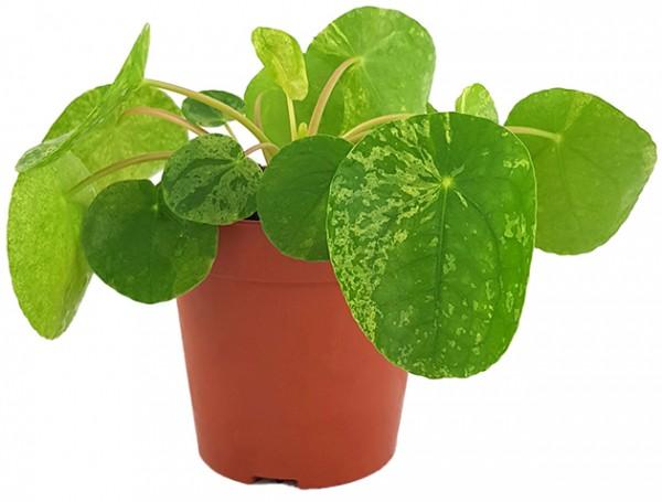 Pilea peperomioides 'Mojito' - gelbmarmorierte Ufopflanze