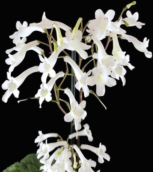 Streptocarpus parfuflora - Einblatt