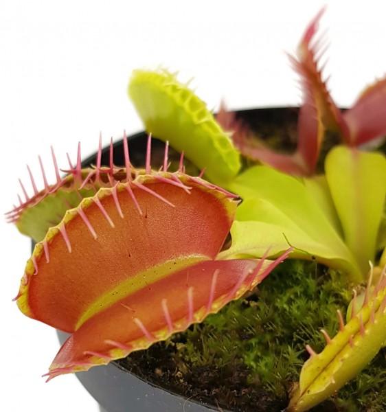 Dionaea muscipula 'Giant Peach'
