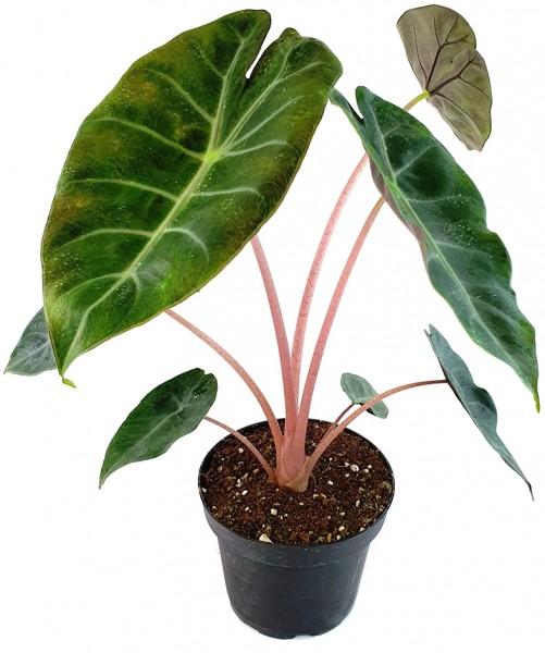 alocasia elefantenohr taro taropflanze büro arbeitszimmer zierpflanze pfeilblatt, alokasie, Sauerstoffllieferand, grünpflanze, zimmerpflanze, staude, luft reinigen, büropflanze, wohnung, dekoration urbanjungle