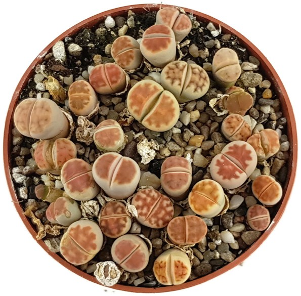 Lithops - Tuff lebender Steine