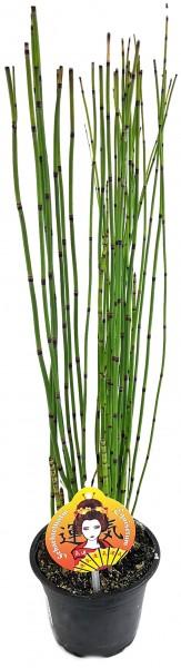 Equisetum japonica - japanischer Schachtelhalm