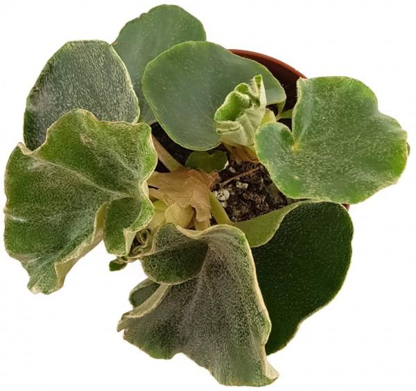 Begonia venosa - Blattbegonie