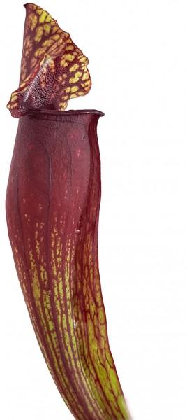 Sarracenia Mitchelliana (Purpurea X Leucophylla) - Klon 2