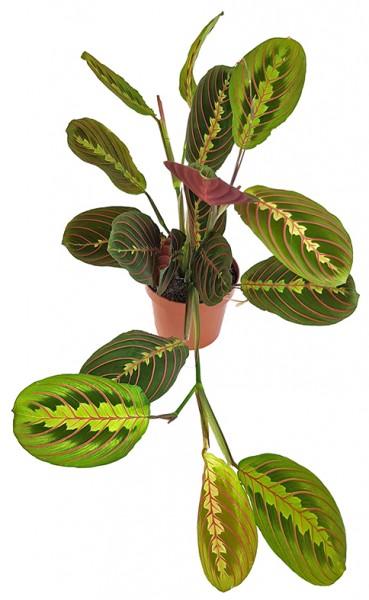 Maranta leuconeura 'Fascinator' - bunter Pfeilwurz