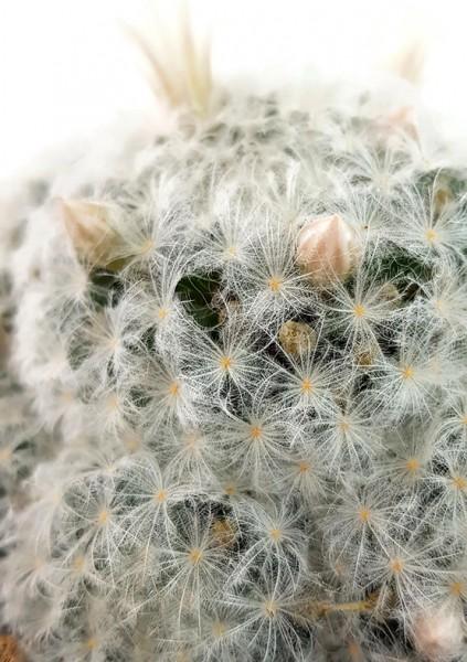 Mammillaria plumosa - Federkaktus