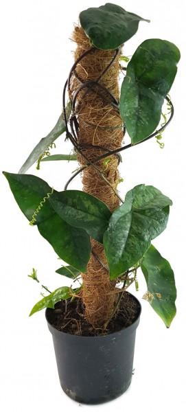 Passiflora coriacea - Fledermaus Passionsblume
