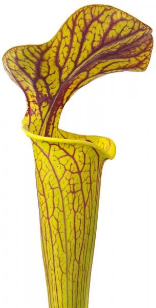 """Sarracenia cv. """"Hugh Jampton"""" MK H194"""