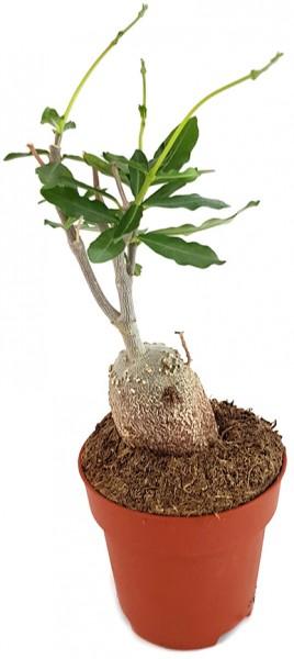 Fockea edulis - exotische Caudexpflanze