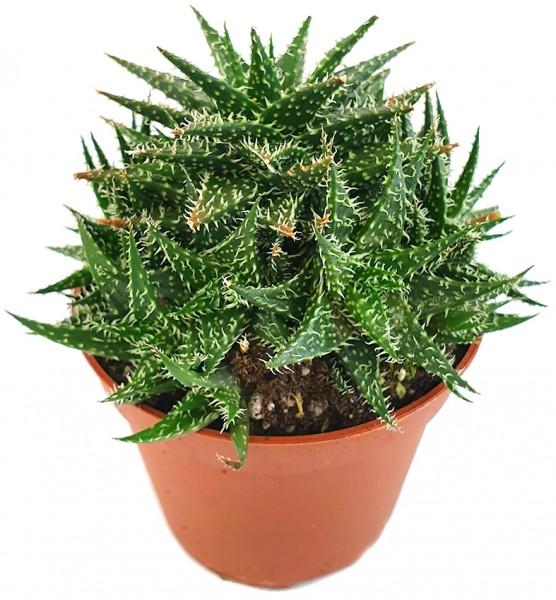 Aloe haworthioides - Sukkulente
