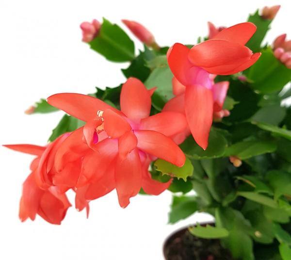 Schlumbergera Hybride - Weihnachtskaktus roter Blüte