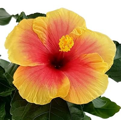 "Hibiscus ""Seppe"" - Hawaii Hibiskus"