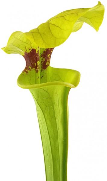 Sarracenia Moorei X 'Brook's Hybrid' MK H7