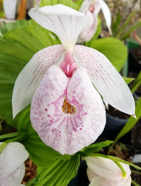Gartenorchidee - Cypripedium formosanum